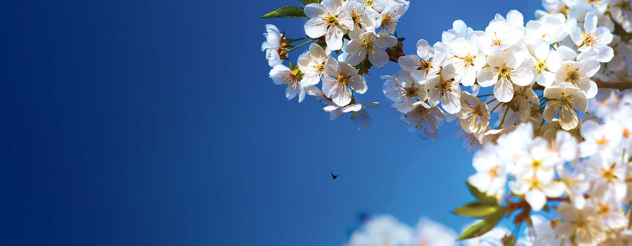 Cherry Blossom blooms with a blue sky background.