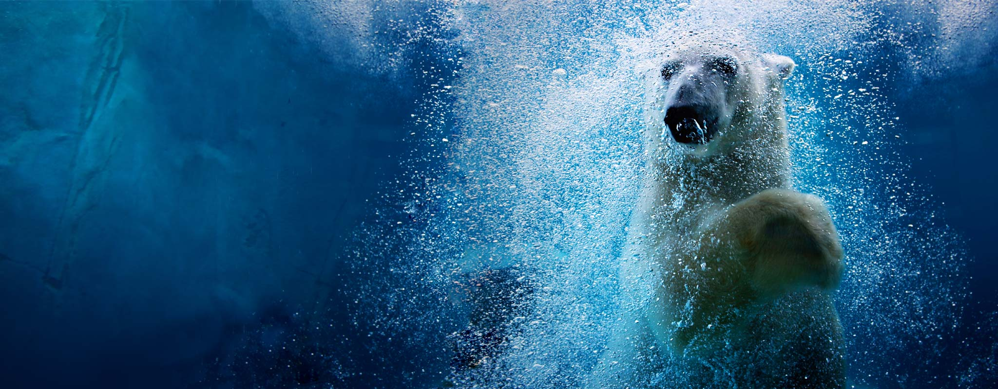 Nora the polar bear under the water at Utah's Hogle Zoo