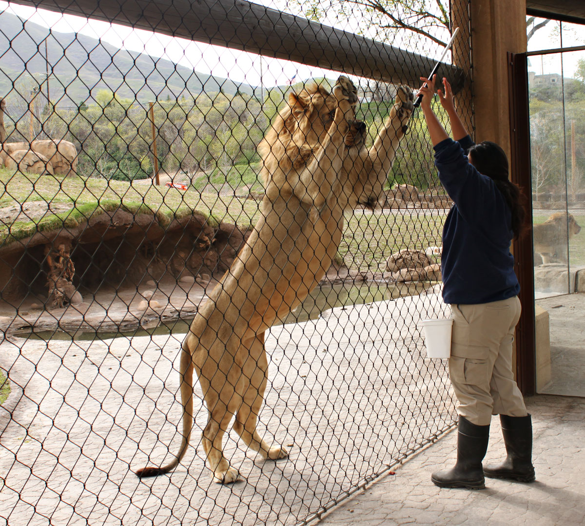 Trainer working with a lion at Hogle Zoo