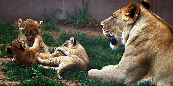 Three lion cubs play near their mother in Hogle Zoo.